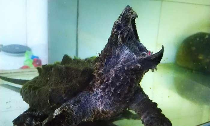 20cm左右的大鳄龟_常州花鸟鱼虫/其他