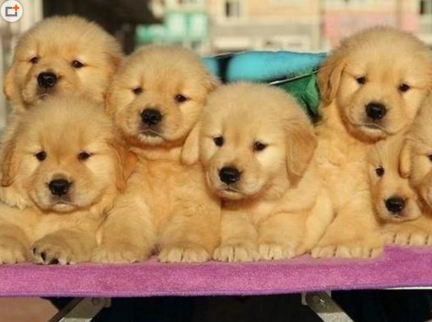 家养一窝大头金毛宝宝 大骨骼,包纯种健康 常州宠物狗 分类100