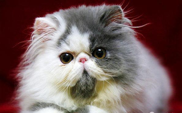 纯种健康波斯猫出售 敲萌敲可爱 保纯保健康 c - [举报]
