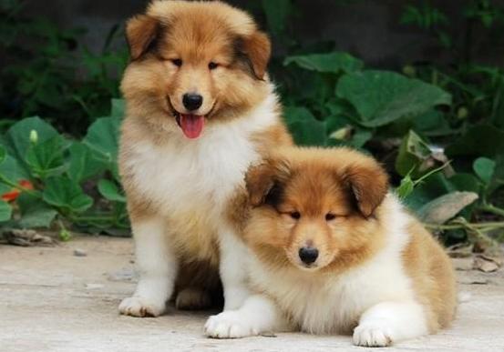 家养纯种苏格兰牧羊犬宝宝找新家,可看狗妈妈