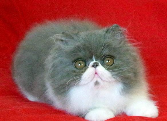 一.品质保证: 保证纯种,猫咪都是自己的猫舍繁殖的,同样的饲养成本我们不会养串子影响效益,而且做生意讲的是诚信。 二.健康保证: 保障1:可以与您签订活体销售协议来保证购买宝宝的健康和纯种. 保障2:本猫舍所出售的猫咪保证血统纯正,血缘清楚,如鉴定不纯我基地按售价的10倍进行赔偿。 保障3:凡本基地所售猫咪在7天内出现猫瘟,可凭当地兽医检疫部门的证明书免费调换同价位的猫咪。 保障4:本猫舍出售的猫咪绝对是健康的猫咪,出售后3个月内,非人为因素产生的健康问题,可送回我猫舍免费治疗。 保障5:本猫舍承担运输途