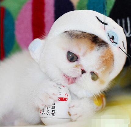 纯种加菲猫出售 聪慧可爱 温顺乖巧