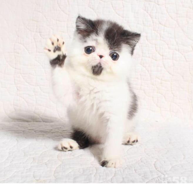 限时特价加菲猫幼崽,保健康纯种,可上门挑选