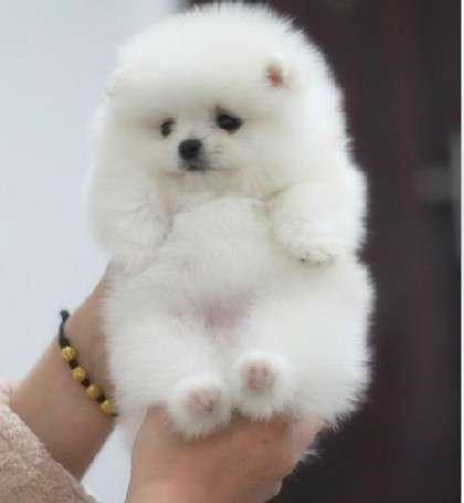 出售博美幼犬狗狗绝对可爱迷人人见人爱