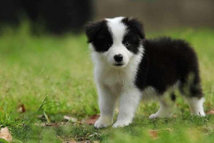 黑白相间的狗品种