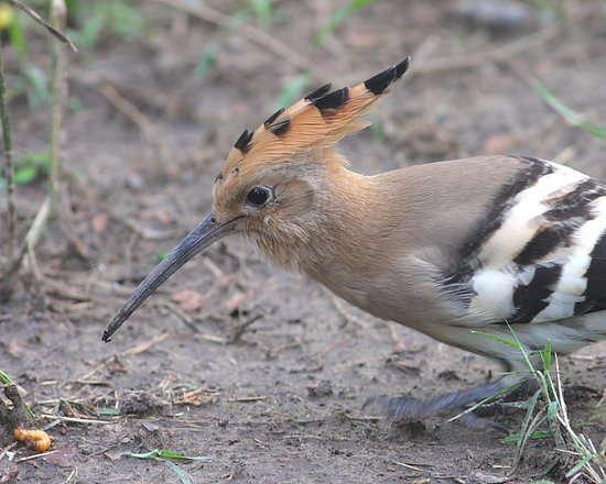 国家二级保护动物的戴胜鸟又名臭姑姑