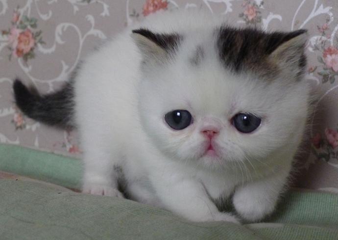 转让我家养的一窝可爱的加菲猫, 一窝小猫咪有4只哦