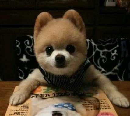 纯种日本俊介犬 幼犬俊介 长不大宠物犬 茶杯犬