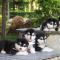 【包健康,签协议】家养纯种巨型阿拉斯加幼犬一窝出售,求带走