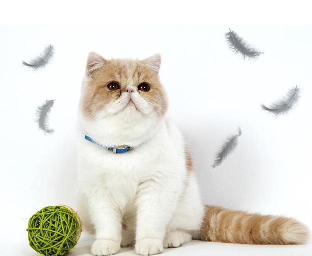 出售品相堪称精品加菲猫幼崽 圆呼呼的身体大大的脑袋很可爱