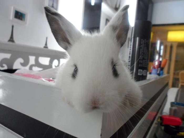 可爱法国公主兔,萌人熊猫兔