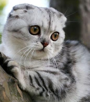 小猫父母分别是银色虎斑加白苏格兰折耳猫和银色渐层英国短毛猫