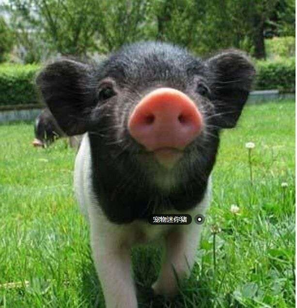 出售可爱宠物猪 家养可爱宠物猪出售了,自家猪妈妈生的健康宝宝
