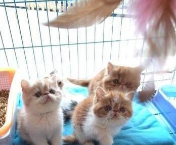 家养的一窝可爱的加菲猫,品种血统纯正 - [举报]