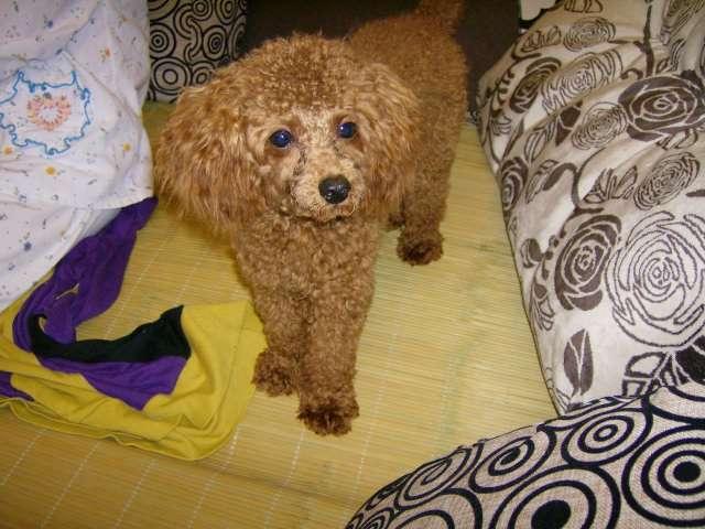 出售家养泰迪犬 超可爱