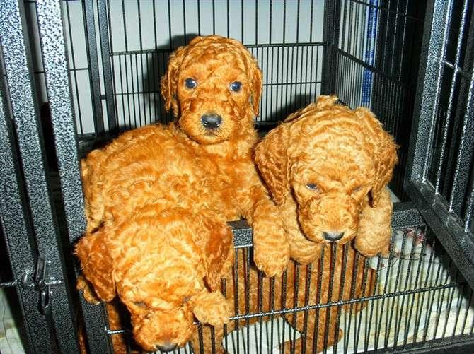 可爱巨贵(巨型贵宾犬)找新家_常州宠物狗_化龙巷分类