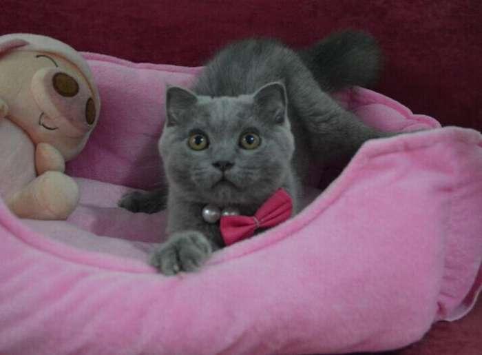家养纯种英短蓝猫ddmm