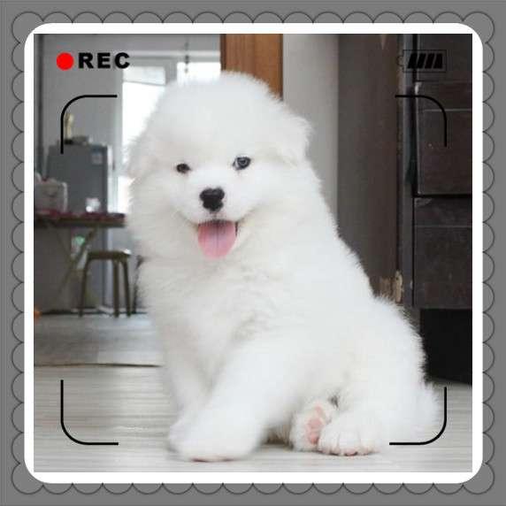 家养的正宗微笑天使萨摩耶幼犬,身体健康活泼可爱,不挑食好养活 疫苗