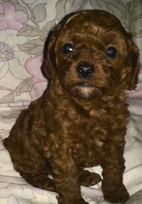泰迪小型玩具犬_常州宠物狗
