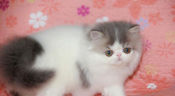 自家养的一窝小波斯猫现在2个多月了,很萌很可爱, - [举报]