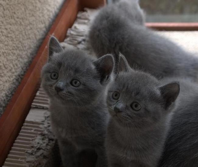 出售一窝正宗的蓝猫.非常可爱漂亮的