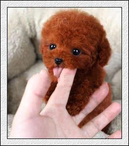 我家养一窝纯种茶杯犬泰迪宝宝出售超级可爱疫苗都打
