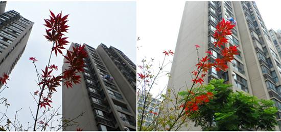 小区绿化带里红红的枫叶,映衬在高楼与天空之间