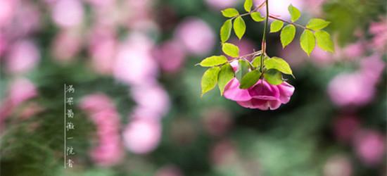 用最独特的角度拍花朵——满架蔷薇一院香