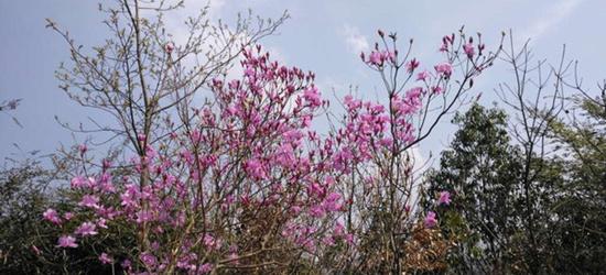 常州还有这么漂亮的野杜鹃花、野桃花、野生茶花