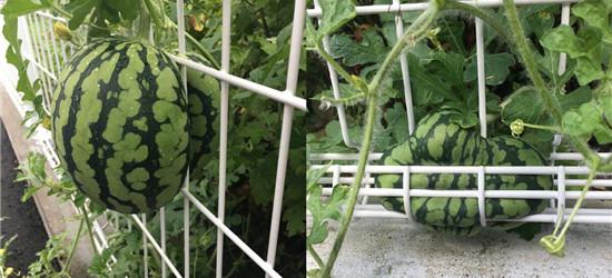 你们种西瓜的就不能多关爱下长偏了的西瓜么!好想救它们啊