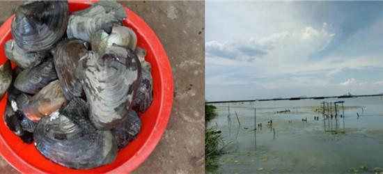 西太湖游泳摸河蚌:一个小时满满一盆河蚌,顺便游泳降个温