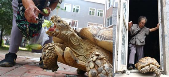 """83岁老人每天领百斤巨龟遛弯成""""网红"""",祝愿大娘能长寿"""
