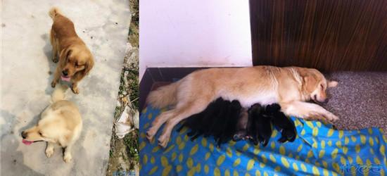 我家金毛和别家金毛两狗相悦,结果生出一堆黑毛,咋回事?