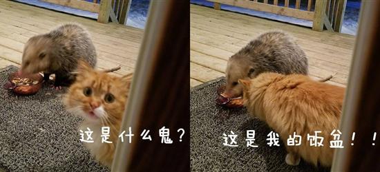 外面来了一只负鼠抢了自己的饭盆!这网友家的橘猫表情亮了