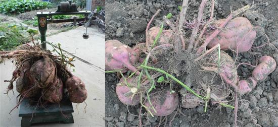前黄一樘山芋重达28斤,一樘山芋有10多个紧紧抱在一起