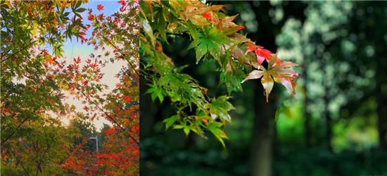 青楓公園楓葉美翻了!上波美圖,喜歡花草的朋友可以去看看