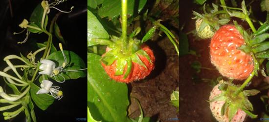 实时记录我们家的小草莓,看着是不是又成熟了一点点呢