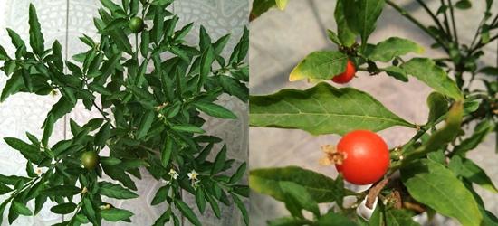我家种的桃子已经有点红了,再过一个10天左右可以开吃啦