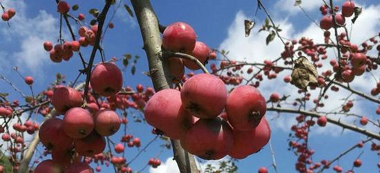 有人知道这是什么果子吗?能吃吗?味道很像小苹果