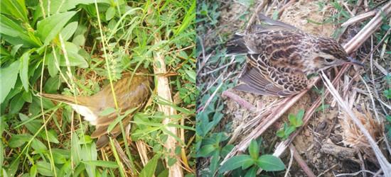 去西太湖玩看到痛心一幕,不知草坪上喷农药好多小鸟被药死了