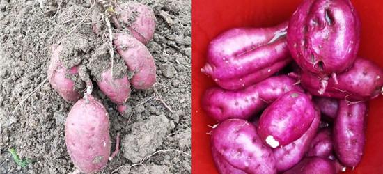 家乡的山芋收获了,又甜又粉的新鲜山芋,味道更是特别