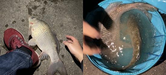 估计你这辈子也没见过这么大的鲫鱼,今天算是长见识了!