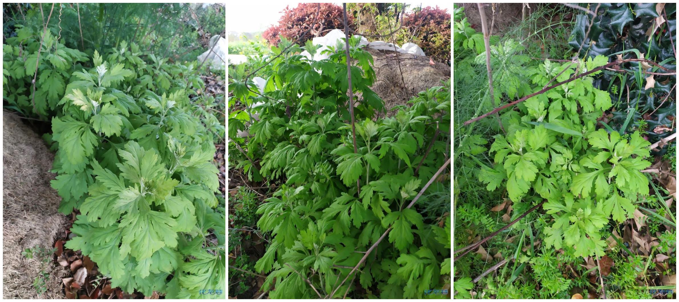 又是一年清明时,去年种的艾草也长出来了