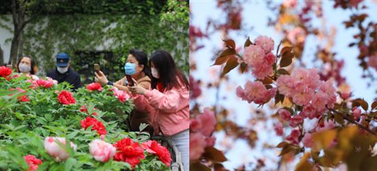 春日来临,来看常州城内牡丹吐艳,晚樱初绽,百花争春!