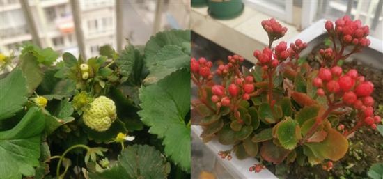 自己种的草莓挂果啦,没有膨大剂也没有催熟剂,吃的安心