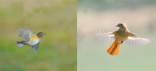青枫公园飞行中的小鸟