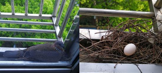 双喜临门!鸽妈也在新筑的巢穴中产下了第一枚鸽蛋