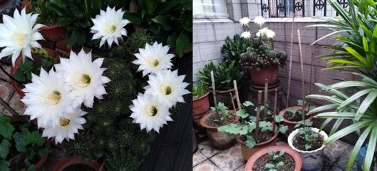 看到园子里的仙人球开花了,居然开了八朵白花
