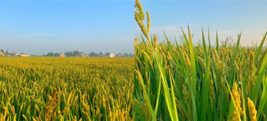 快来看,那片稻田黄了!秋天是丰收的季节