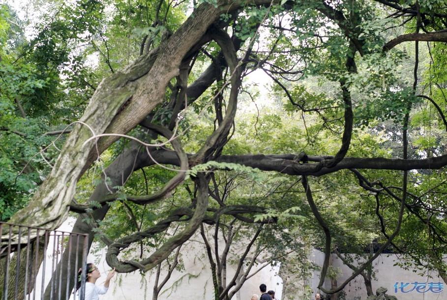 描述:独木成林的百年紫藤树